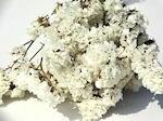 ドライフラワー花材 スターチス・カシミア