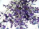 ドライフラワー花材 スターチス・ミシガンブルー