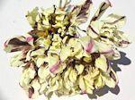 ドライフラワー花材 チューリップ・カーニバルデニス