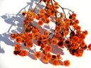 ドライフラワー花材 スターリンジア・オレンジ