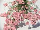 ドライフラワー花材 ライスフラワー・ピンク