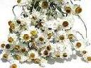 ドライフラワー花材 アンモビューム