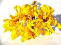 ドライフラワー花材チューリップ・モンテカルロ