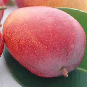 沖縄県産完熟アップルマンゴー