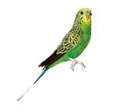 Budgie(Green) セキセイインコ グリーン PUEBCO Artificial Birdsプエブコ アーティフィシャルバード124070【あす楽対応_東海】