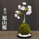 苔玉 桜 旭山桜 あさひやまさくら 送料無料 桜の苔玉・黒備前器小サイズ 敷石セット 八重の桜 かわいい 花咲くこけだ…