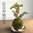 苔玉 紅長寿梅 ベニチョウジュバイ ・黒備前器・敷石セット花咲くこけだま コケ玉 ギフト初めての盆栽 父の日 母の日 …