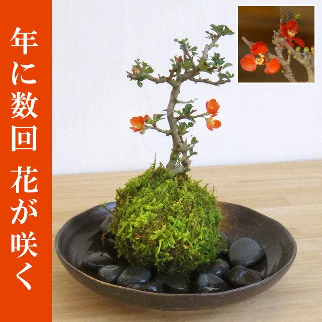 苔玉 紅長寿梅(ベニチョウジュバイ)・器・敷石セット【選べるお皿・敷石つき】