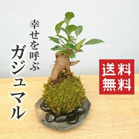 盆栽可愛い 苔 玉 ガジュマル 縁起良い 幸運の木 ユニーク 人気 沖縄 ガジュマルの苔玉・黒備前器セット 送料無料 盆栽