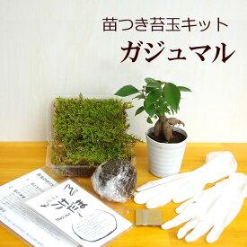 苔玉作成キット 植物苗がついている 苔玉キット 苗付(ガジュマル) 手作り 初心者 こけだまの材料 かんたん作成キット 苗・苔・苔玉用に配合した土・糸・作り方のしおりセット・樹種別育て方のしおりセット