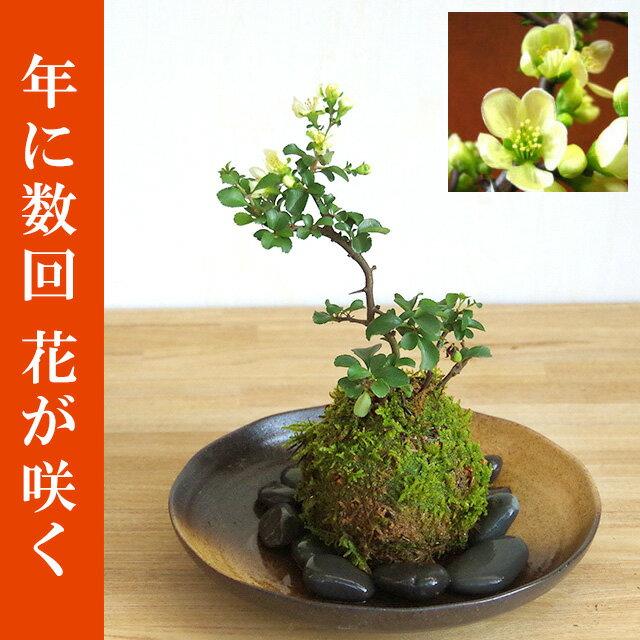 苔玉 白長寿梅(シロチョウジュバイ)・器・敷石セット【選べるお皿・敷石つき】