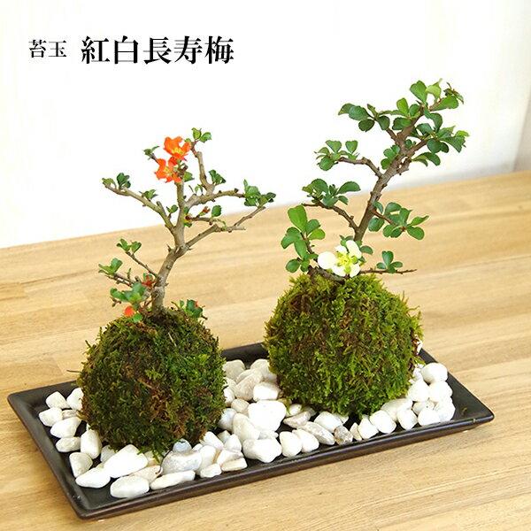苔玉 紅白長寿梅(チョウジュバイ)・器・敷石セット