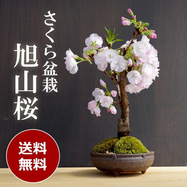 盆栽 旭山桜(あさひやまさくら)【信楽丸茶鉢】2018年開花終了