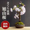 盆栽 旭山桜(あさひやまさくら)の盆栽【信楽丸茶鉢】