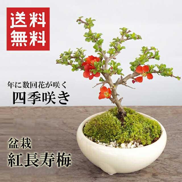 盆栽 紅長寿梅(べにちょうじゅばい)の盆栽(万古焼白鉢)