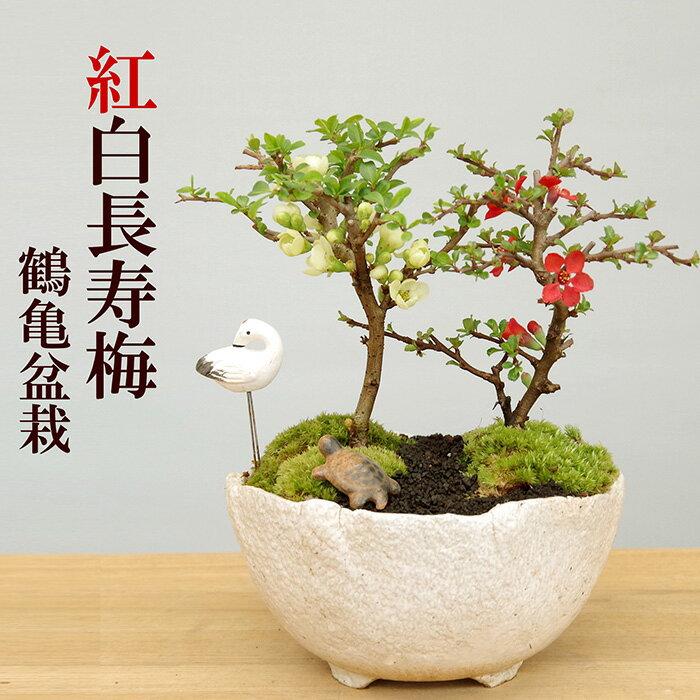 父の日 ギフト盆栽 長寿梅 紅白 二本植え紅白長寿梅(コウハクチョウジュバイ)鶴亀盆栽花咲くボンサイ bonsai 草木瓜 お祝い 父の日 母の日 誕生日 新入学 新築祝い ウエディングギフト