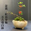 盆栽 長寿梅 紅花 花は四季咲きチョウジュバイ 紅長寿梅の盆栽(万古焼白丸鉢) 長寿梅 紅花 花咲く盆栽 縁起良い ギ…