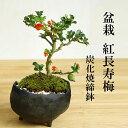 盆栽 紅長寿梅(べにちょうじゅばい) 鉢 作家 真山茜 炭化焼締鉢 bonsai 長寿梅 紅花 花咲く盆栽 縁起良い ギフト初…