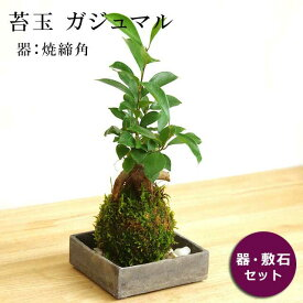 苔玉 ガジュマル 縁起良い 幸運の木 ユニーク 人気 沖縄 ガジュマルの苔玉・焼締角器セット