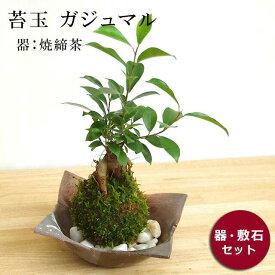 苔玉 ガジュマル 縁起良い 幸運の木 ユニーク 人気 沖縄 ガジュマルの苔玉・焼き締茶器セット