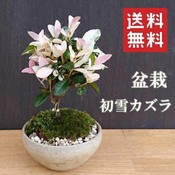 盆栽 初雪カズラ