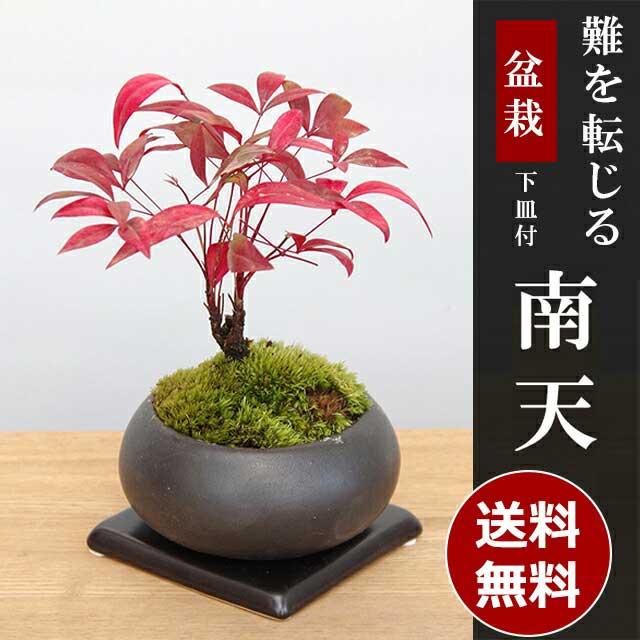 盆栽 南天の盆栽・下皿セット【黒鉢】