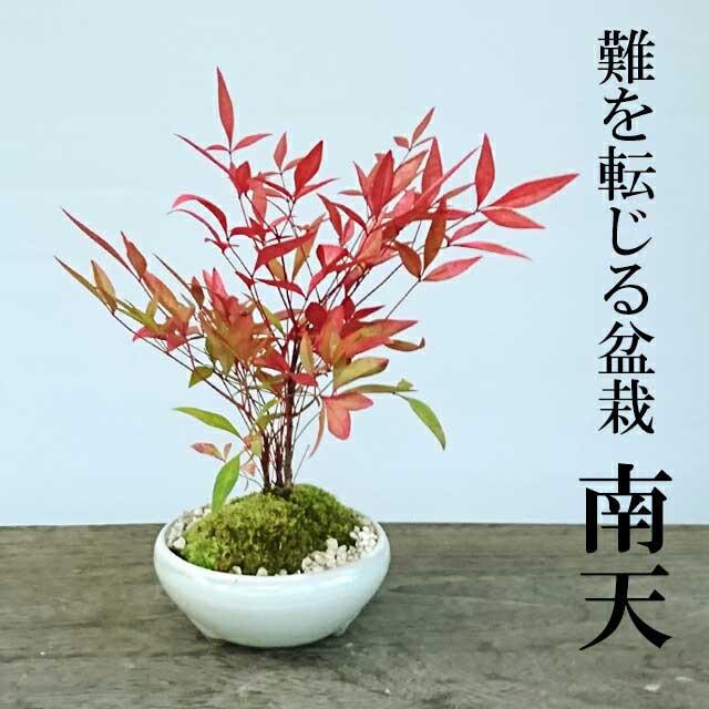父の日 ギフト盆栽 南天(なんてん)の盆栽(万古焼白陶器鉢)