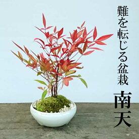 敬老の日盆栽 南天(なんてん)の盆栽(万古焼白陶器鉢)