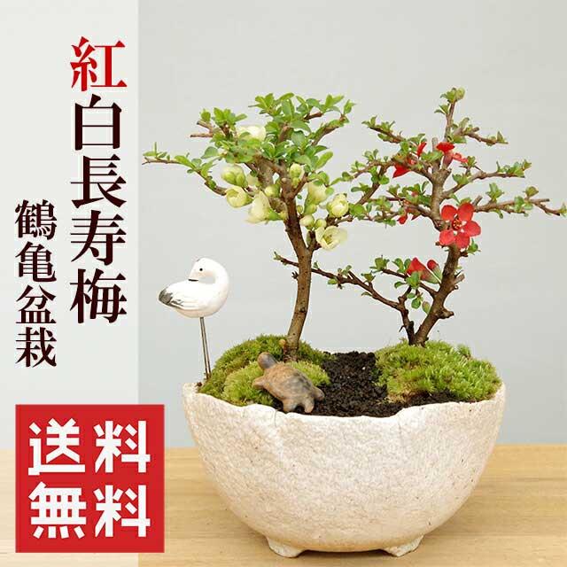 盆栽 紅白長寿梅(コウハクチョウジュバイ)鶴亀盆栽