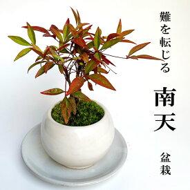 盆栽 南天の盆栽・下皿セット 白鉢 風水