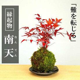 苔玉 南天の苔玉・選べる器・敷石セット ナンテン 風水