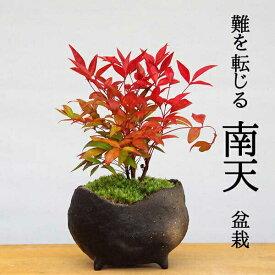 盆栽 ナンテン 南天盆栽 炭化焼締鉢 作家 真山茜 益子 炭化焼き締め 難を転ずる 縁起の樹 春から夏には緑色の新葉が秋からは真っ赤な葉 縁起物