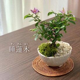 【現在花なし】盆栽 スイレンボク 睡蓮木の盆栽【万古白鉢】睡蓮 万古焼 四日市 bonsai 誕生日 還暦祝い 父の日 母の日