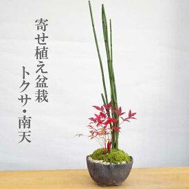 敬老の日盆栽 可憐な寄せ植え盆栽 トクサ・南天の盆栽_万古焼黒鉢