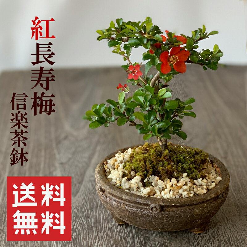 盆栽 紅長寿梅(べにちょうじゅばい)信楽焼茶鉢