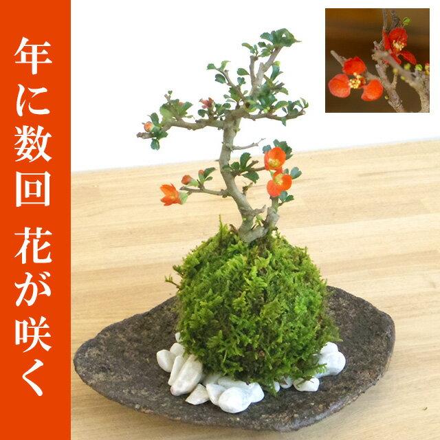 苔玉 紅長寿梅(ベニチョウジュバイ)・くらま岩器・敷石セット