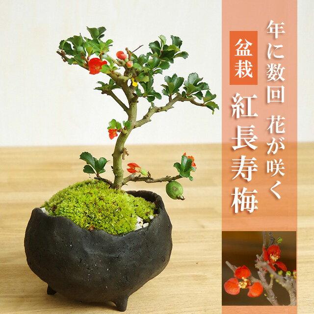 盆栽 紅長寿梅(べにちょうじゅばい)【鉢 作家 真山茜 炭化焼締鉢】