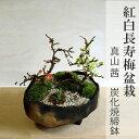盆栽 紅白長寿梅の寄せ植え盆栽【鉢 作家 真山茜 炭化焼締鉢】