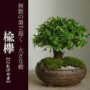 盆栽 小さな無数の葉が描く大きな樹のある景色 楡欅(ニレケヤキ)の盆栽(信楽焼鉢)