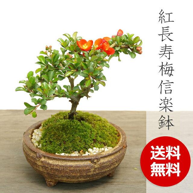盆栽 紅長寿梅(べにちょうじゅばい)の盆栽【信楽焼茶鉢】
