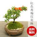送料無料!年に数回可憐な花が咲く【紅長寿梅(べにちょうじゅばい)の盆栽(信楽焼茶鉢)】
