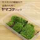 敬老の日盆栽苔 ヤマゴケ パック 盆栽の化粧 コケテラリウム 苔盆栽 ヤマゴケ