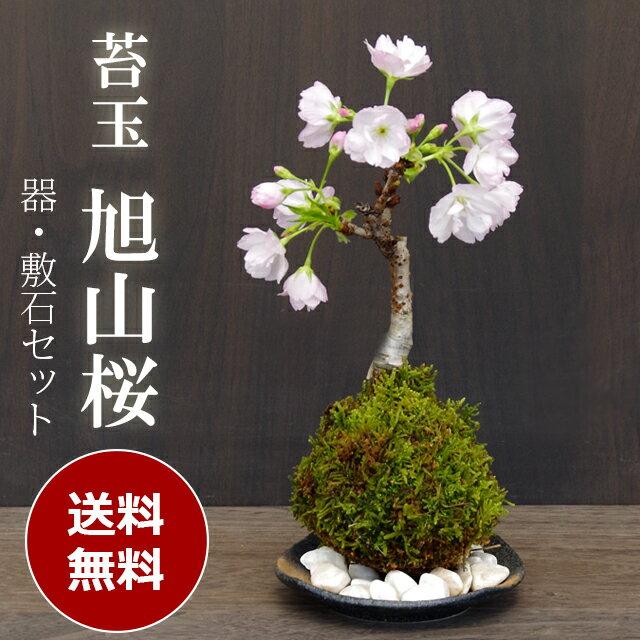 送料無料でお届けします 桜(旭山桜)の苔玉・黒備前器小サイズセット【2018年開花終了】