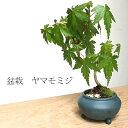 四季折々の変化を楽しむ【山紅葉(ヤマモミジ)の盆栽(鉢 宜興鉢】