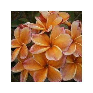 プルメリア 接木(ピンクオレンジ:カラシンオレンジ) 1本立ち 5号鉢植え 苗【熱帯植物・トロピカルフラワー・ハワイアンフラワー・プルメリア】