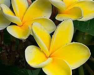 プルメリア 接木(イエロー:ムーンライト) 1本立ち 5号鉢植え 苗【熱帯植物・トロピカルフラワー・ハワイアンフラワー・プルメリア】