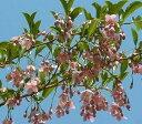 エゴノキ ベニバナエゴノキ 紅花エゴの木(8寸鉢植え)