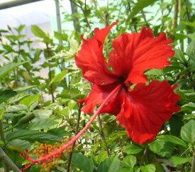【ハイビスカス】【鉢植え】レッドバタフライ 【熱帯植物・トロピカルフラワー・ハワイアンフラワー・ハイビスカス】
