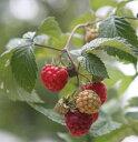 【トゲナシ】赤実ラズベリー グレンモイ 4寸ポット植え《果樹苗》 トゲなしラズベリー