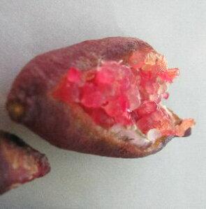 【樹高100センチ程度!】 フィンガーライム レッド(赤)接ぎ木2年生苗《果樹苗》